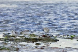 Le Bécasseau sanderling (Calidris alba)<br> Plage Campiotel<br> Île de Ré