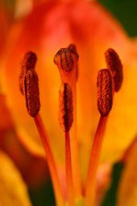 Le Lys orangé (Lilium bulbiferum)<br> Le vallon de la Madone de Fenestre<br> Haute vallée de la Vésubie<br> Parc Naturel National du Mercantour
