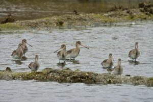 La Barge à queue noire (Limosa limosa)<br> Réserve Naturelle de Lilleau des Niges<br> Île de Ré