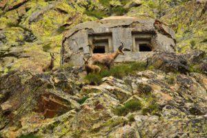 Le Chamois (Rupicapra rupicapra)<br> Lacs de Terre-Rouge<br> Haute vallée de la Tinée<br> Parc Naturel National du Mercantour