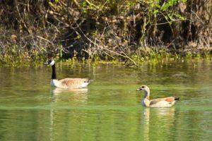 L'Ouette d'Égypte (Alopochen aegyptiaca)<br> Parc départemental de la Haute-Île