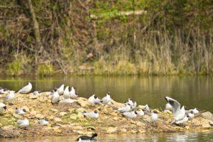 Mouette rieuse (Chroicocephalus ridibundus) <br> Réserve Naturelle Régionale du Grand-Voyeux