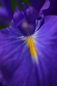 L'Iris des Pyrénées (Iris latifolia)<br> Le Cirque glaciaire de Gavarnie<br> Haute vallée du Gave de Pau<br> Parc Naturel National des Pyrénées