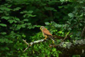 Le Faucon crécerelle (Falco tinnunculus)<br> Haute vallée du Gave de Pau<br> Parc Naturel National des Pyrénées