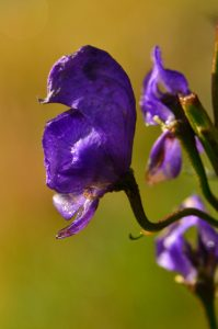 Aconit napel (Aconitum napellus)<br> Le Cirque glaciaire de Troumouse<br> Haute vallée du Gave de Pau<br> Parc Naturel National des Pyrénées