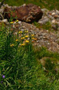 Le Lys des Pyrénées (Lilium pyrenaicum)<br> Le Cirque glaciaire de Lis ou d'Erès Lits<br> Haute vallée du Gave de Pau<br> Parc Naturel National des Pyrénées